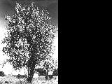 Wild pear tree in bloom at Perrydale in Polk County, Oregon, 1959