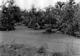 Columbus Day Storm damage to an orchard at Scholls, Oregon, 1962