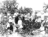 Strawberry harvest, ca 1916