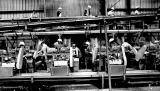 Lines of workers in the Brooks, Oregon, plant of the Stayton Canning Company, 1981